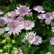 Garden Tips To Plant Astrantia Flowers