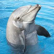 Humans has a trait as dolphins.