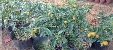 Agriculture: 3 Months 'Mango' Is Ready To Harvest See More Pictures Of It