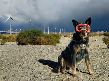 Humans are terrible at finding bats and birds killed by wind turbines. Dogs are great at it