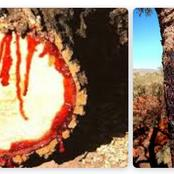 Meet The Tree That Produces Blood When Cut: Its Name And Reasons why It Produces Blood When Hurt
