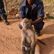 A BAD DAY FOR A BABOON.  Caught red handed and cuffed.(Opinion)
