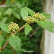 No side effects, use this plant to treat your asthma