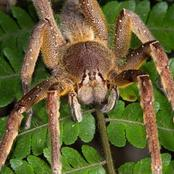 Check Out This Spider That Can Cause Erection If It Bites You.