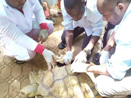 This Tortoise was hit by a Car, see what the Doctors did to it. Photos