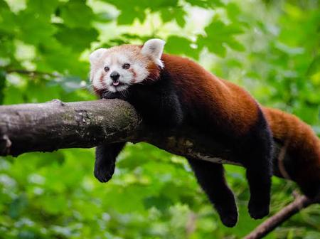 Red panda is native to eastern Himalayas