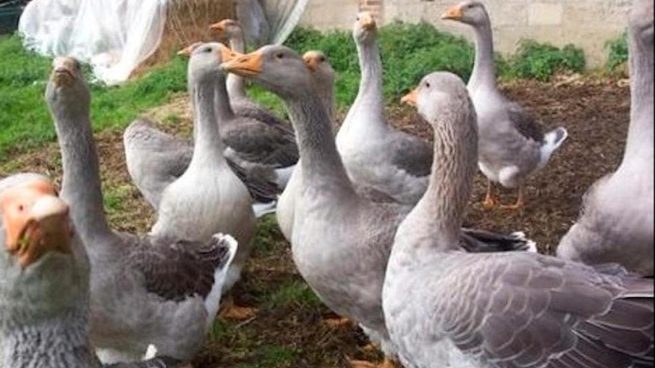 Un nouveau cas de grippe aviaire détecté dans les Ardennes