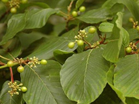 Add 2 Grams Of The Buckthorn Bark To Two-Thirds Of A Cup Of Boiling Water And Drink To Solve This.