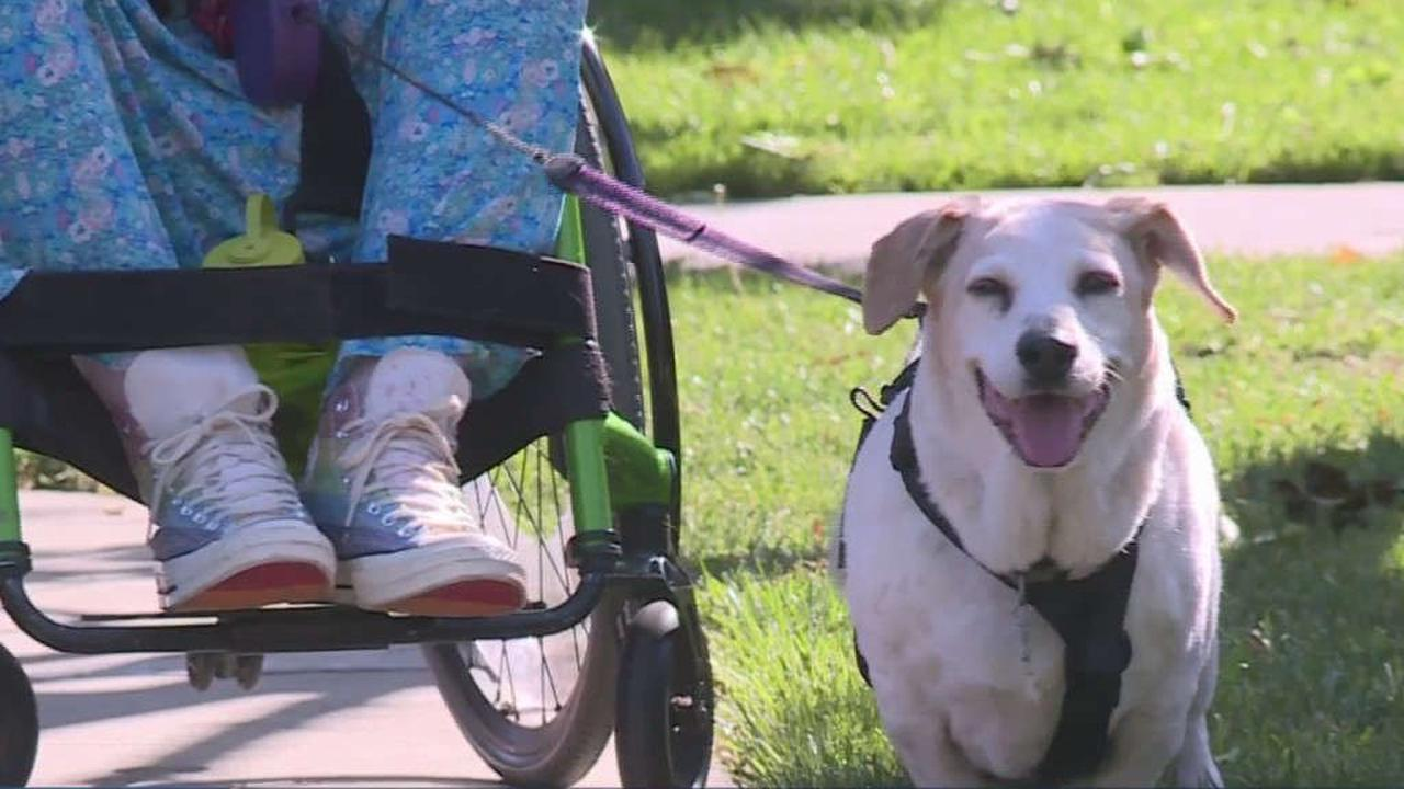'He Gives Me Everything To Be': Therapy Dog For Woman In Wheelchair Now Needs Wheelchair Of His Own