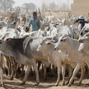 Bauchi: Govt to vaccinate 800,000 cows with N32m