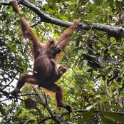 Ape escape: Indonesian orangutans airlifted back to the wild!!