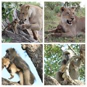 Wildlife: Check Out The Moment Lion And Monkey Swapped Wards