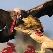 3 dangerous birds that can kill a full grown Lion in a death battle