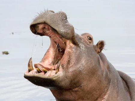 Hippo finds its way to fourways