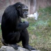 Meet Azalea, A 19-Year-Old Female Chimpanzee Smoking A Packet of Cigarettes Each Day