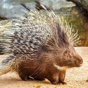 Do Porcupines Shoot Their Quills?