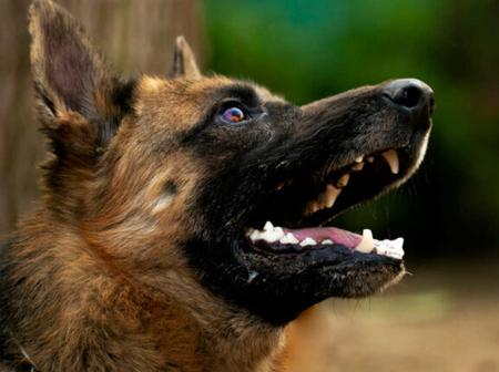 Coronavirus: dogs trained to identify patients