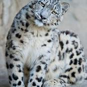 Is a snow leopard the same as a clouded leopard?