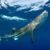 Greenland shark : The longest living vertebrate.