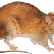How To Get Rid Of Rats In Your House