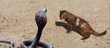 See the Animal that can Kill a Snake With Only a Bite to the Head (Photos)
