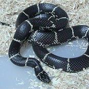 Animal Farming 101: How can you tell a king snake?
