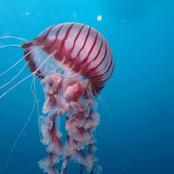Jellyfish is one of the animal that does not have a brain