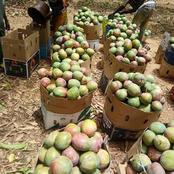 Korhogo connaît l'une des pires campagnes de mangue de ces dernières années