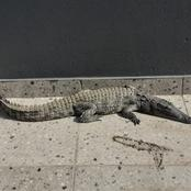KZN | In SHOCK as CROCODILE is found in Pietermaritzburg complex | SEE PICTURES attached