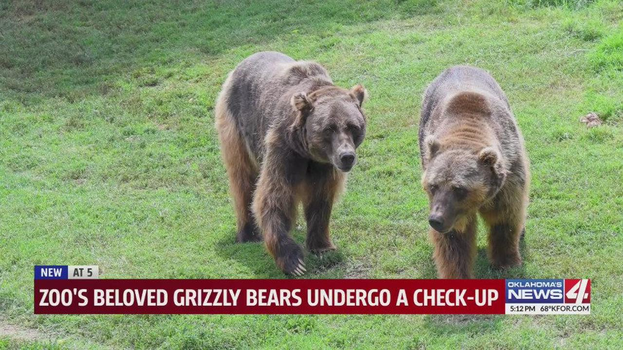 Grizzly bear brothers get first public checkup at Oklahoma City Zoo