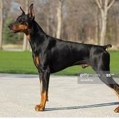 Dorbemann: This dog is dangerous & it has short tail and long ears.