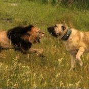 5 Types Of Dogs That Can Tear A Lion Apart