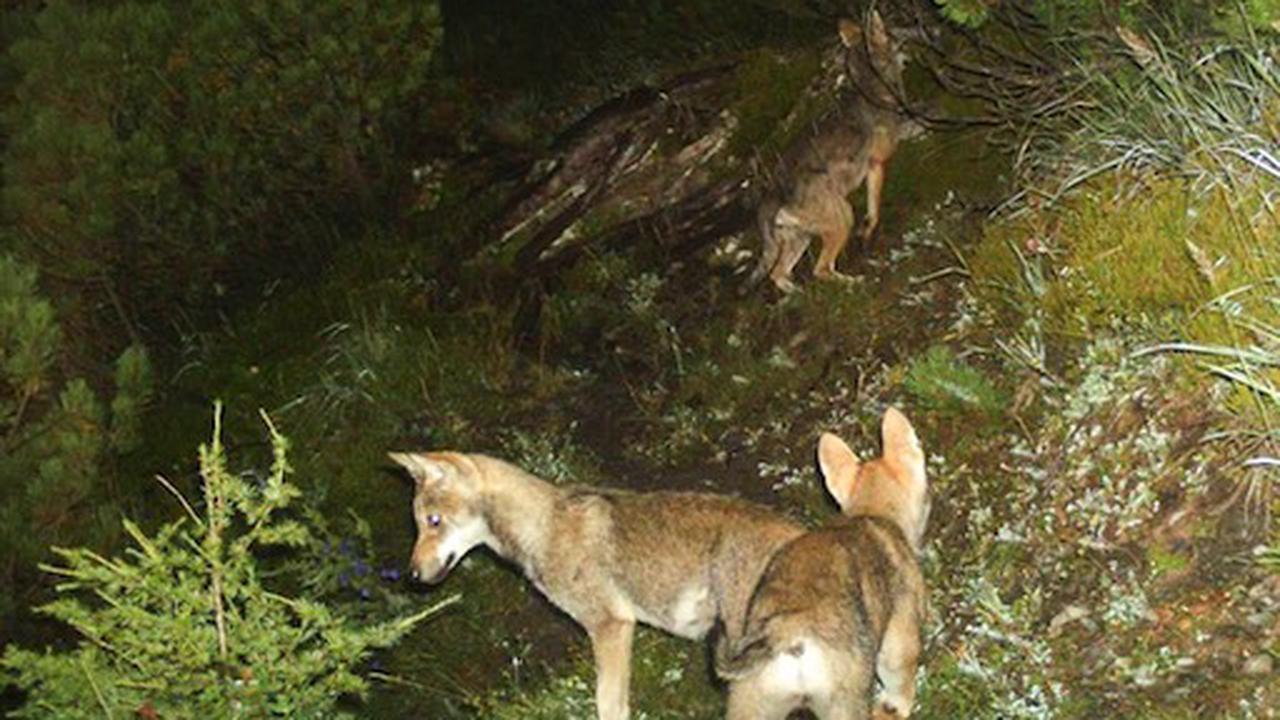 Ein zweites Wolfsrudel im Kanton Waadt nachgewiesen