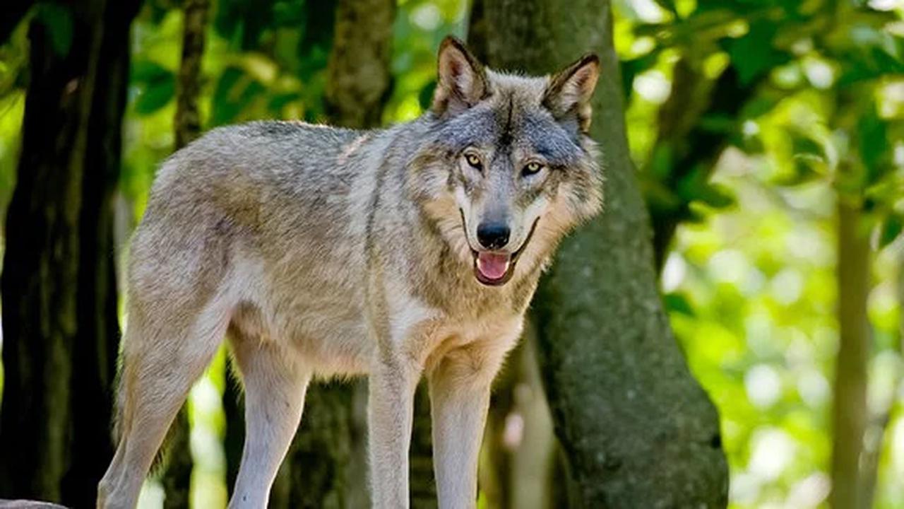 Frankenheim: Rhöner Schäfer und Landwirte zweifeln an Wolfrissgutachten des Umweltministeriums