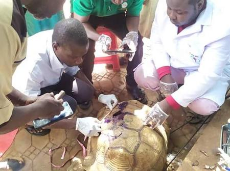 See Pictures Of Doctors Trying To Save A 75 Year Old Tortoise Involved In Accident