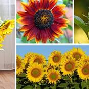4 Factors Affecting the Growth Of Sunflower In Your Home