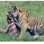 Main Reason Why A Tiger Can Kill A Lion