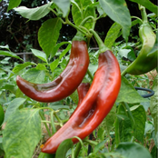 How To Grow Peppers in the garden