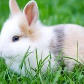 لماذا رفض الرسول الكريم أكل لحم الأرانب؟