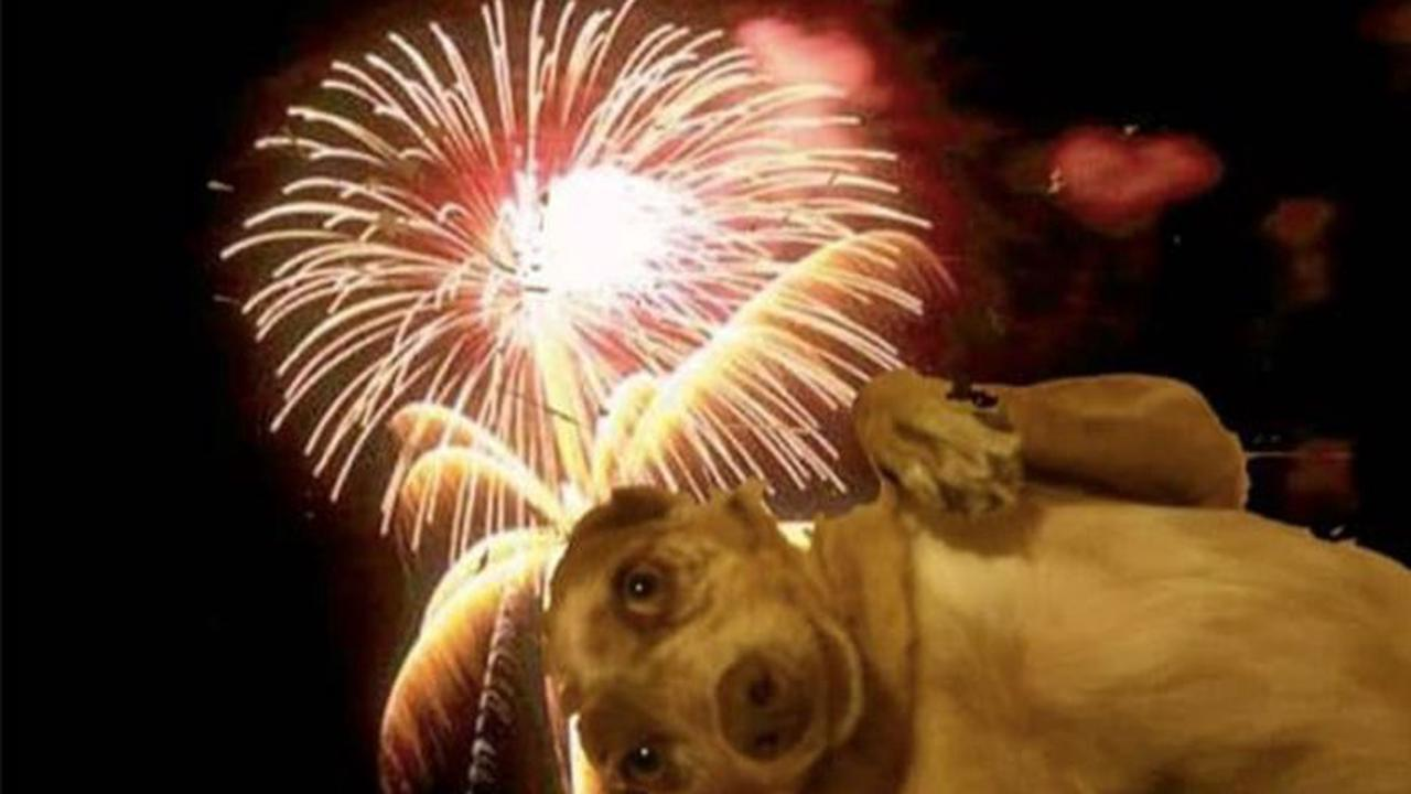 DOGS with Phobia to intense noises: Fireworks, storms, firecrackers...