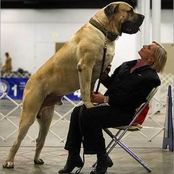 See What Owners Of The Biggest Dogs In The World Look Like When They Are With Their Dogs (Pictures)