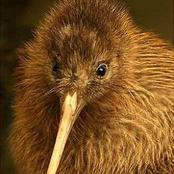 What you never knew about the Kiwi bird