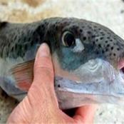 «أخطر سمكة في مصر».. «الصحة» تحذر من هذه «السمكة القاتلة»
