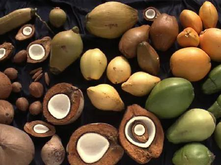 The variety of coconuts we eat habitually