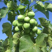 How To Start A Lucrative Jatropha Farming Business In Nigeria